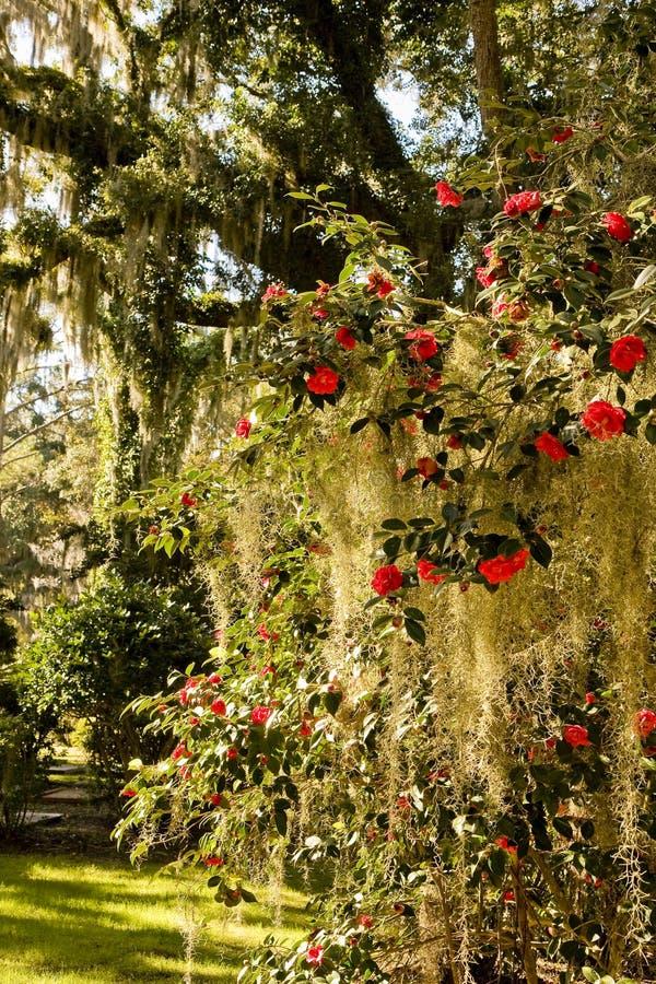 Rosas en musgo español imágenes de archivo libres de regalías