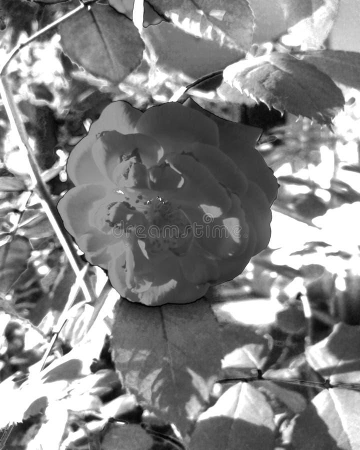 rosas en un fondo borroso fotos de archivo libres de regalías