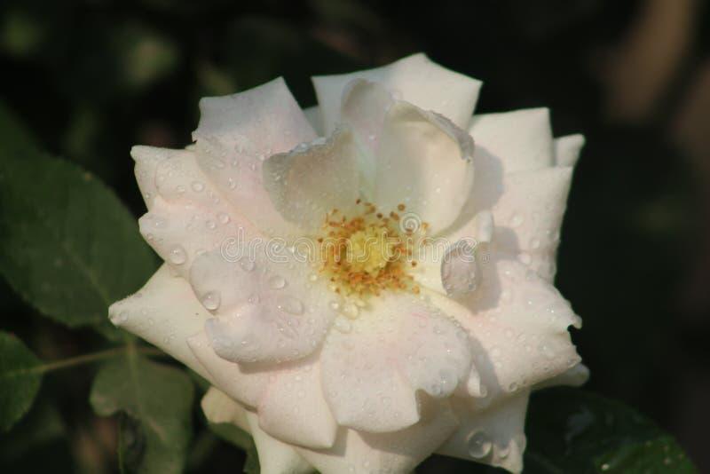Rosas encantadoras fotos de stock royalty free