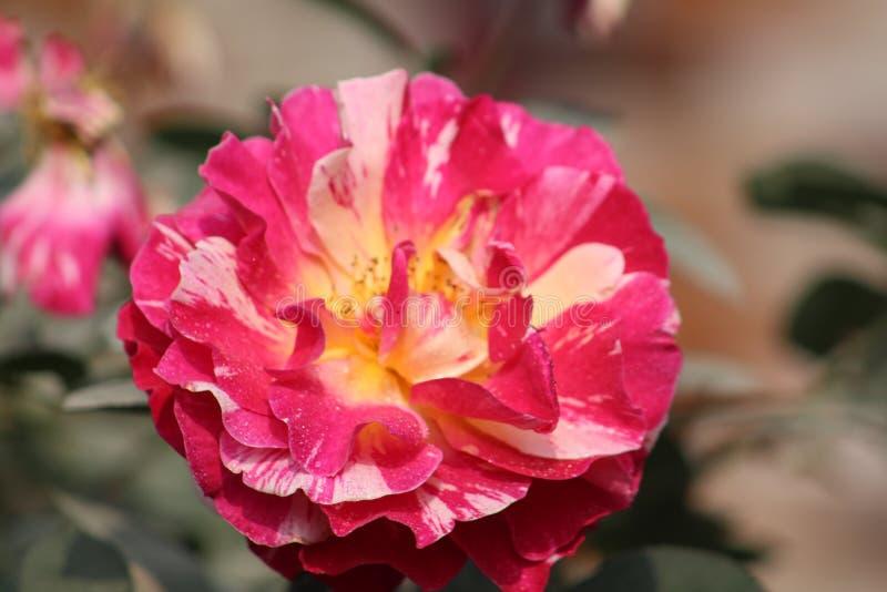 Rosas encantadoras imagem de stock royalty free