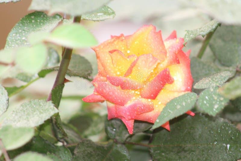 Rosas encantadoras imagens de stock