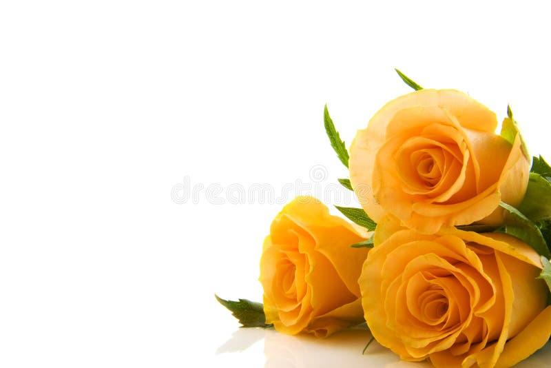 Rosas encantadoras fotos de stock