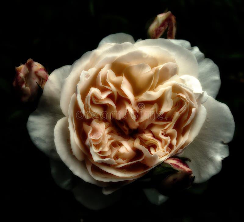 Rosas escuras do sepia no preto fotografia de stock royalty free