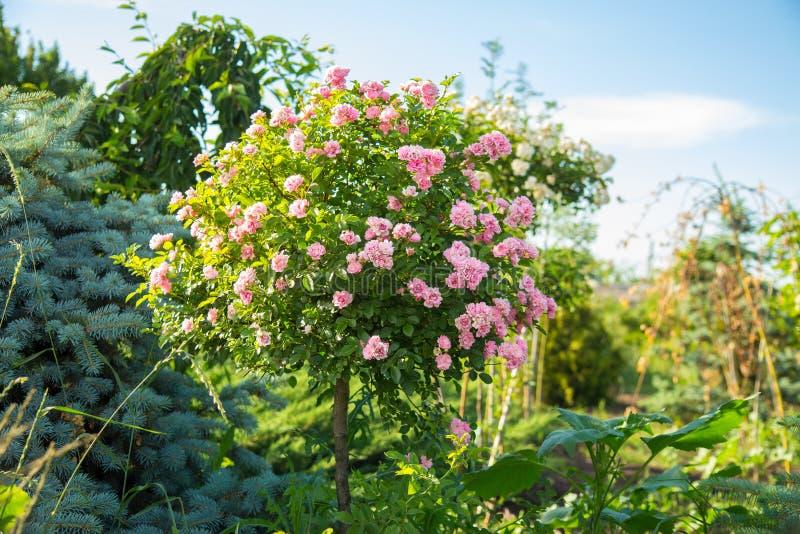 Rosas estándar del árbol decorativo, en el tronco con el primer rosado de las flores foto de archivo