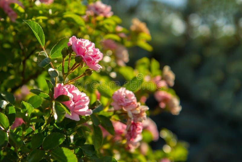 Rosas estándar del árbol decorativo, en el tronco con el primer rosado de las flores imagen de archivo libre de regalías