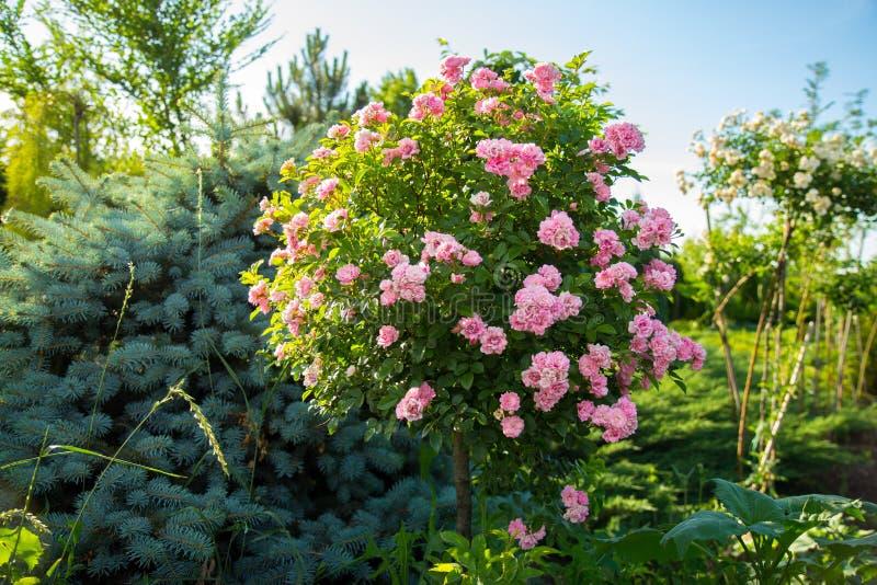 Rosas estándar del árbol decorativo, en el tronco con el primer rosado de las flores fotos de archivo