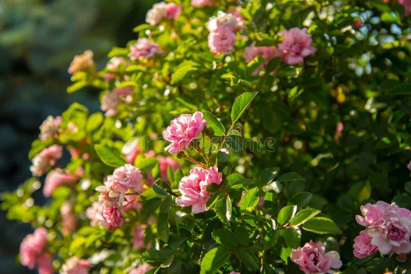 Rosas estándar del árbol decorativo, en el tronco con el primer rosado de las flores imagen de archivo