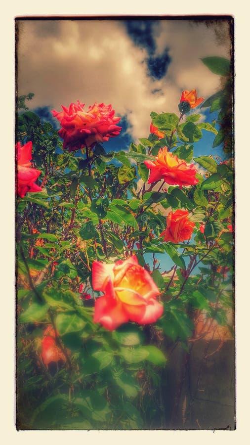 Rosas estilizados fotos de stock royalty free