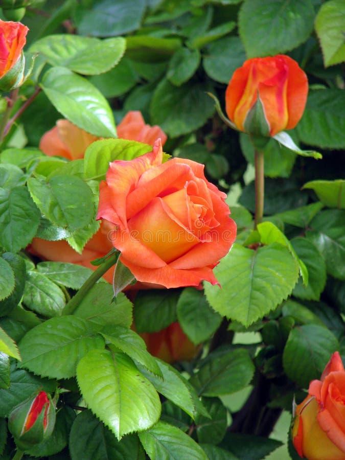 Rosas florecientes foto de archivo libre de regalías
