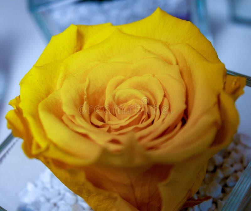 Rosas, flores bonitas de várias cores são dados para enviar mensagens na imagem um espécime de um ro muito amarelo-colorido imagens de stock