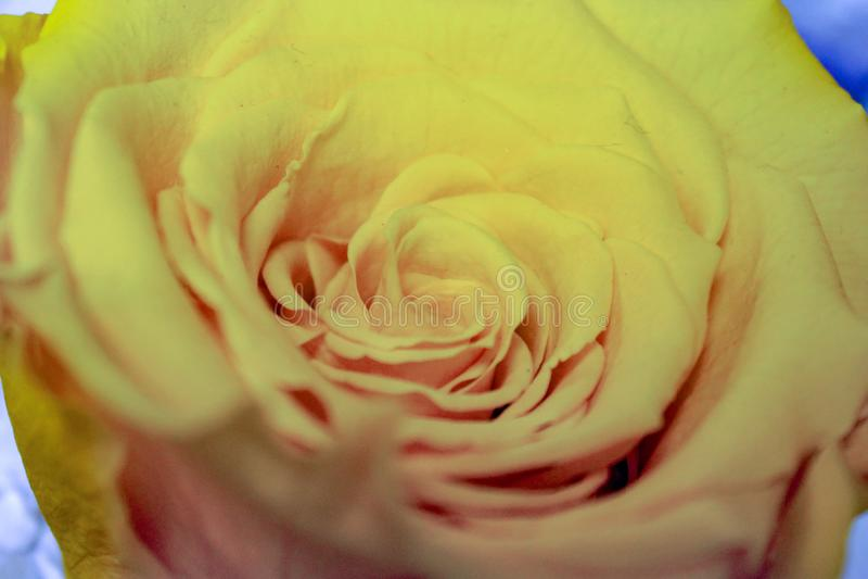 Rosas, flores bonitas de várias cores são dados para enviar mensagens na imagem um espécime de um ro muito amarelo-colorido fotos de stock royalty free