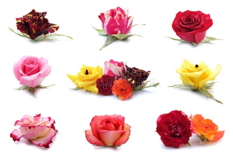 Rosas, flores, Rosa imagens de stock