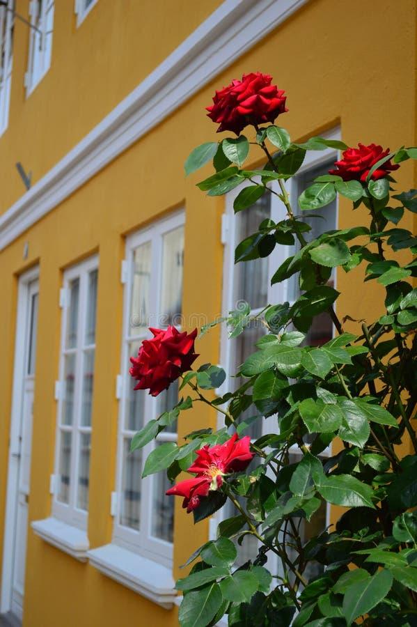 Rosas fora de uma casa de cidade dinamarquesa do século XVII brilhantemente colorida típica imagem de stock