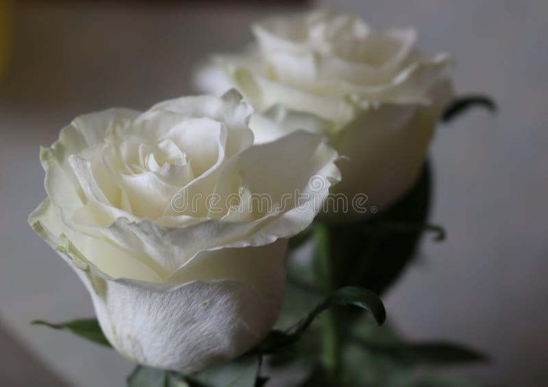 Rosas frescas bonitas brancas da inocência imagem de stock