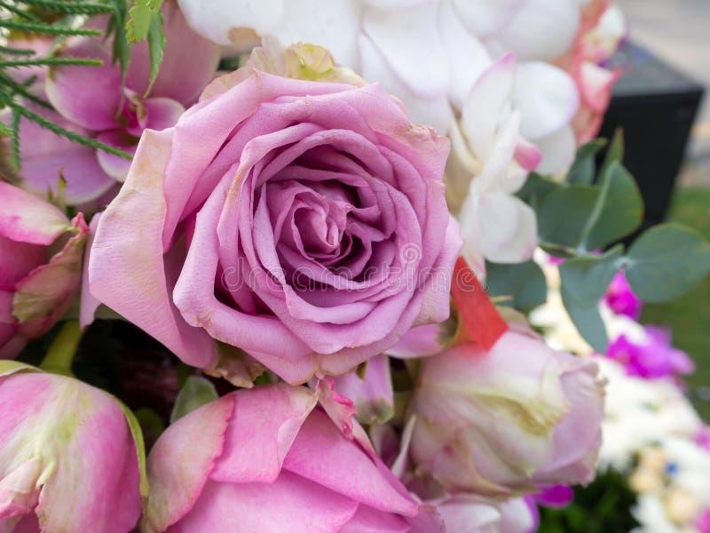 Rosas frescas violetas fotos de stock