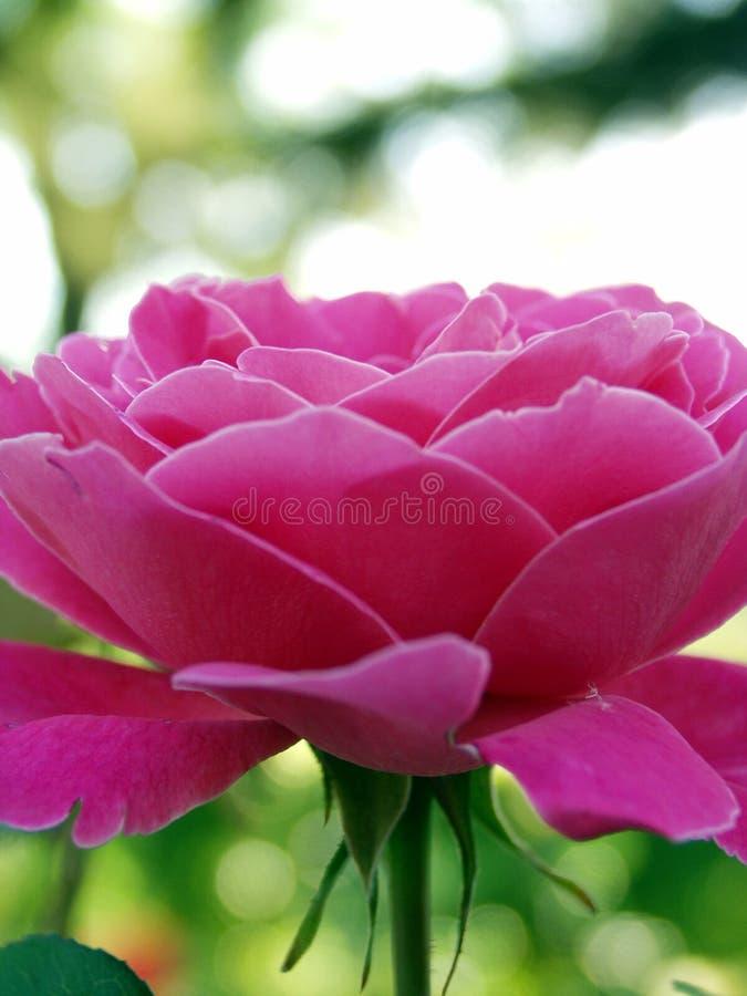 Rosas frontais imagens de stock