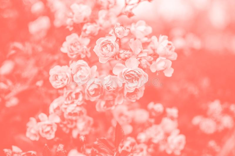 rosas Fundo coral de vida foto de stock