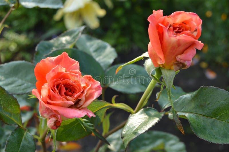 Rosas hermosas de Bush del jardín de rosas en Valentine& x27; día de s imagen de archivo libre de regalías