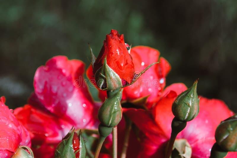 Rosas hermosas en jardín, rosas para Valentine Day Llueva los descensos imagen de archivo