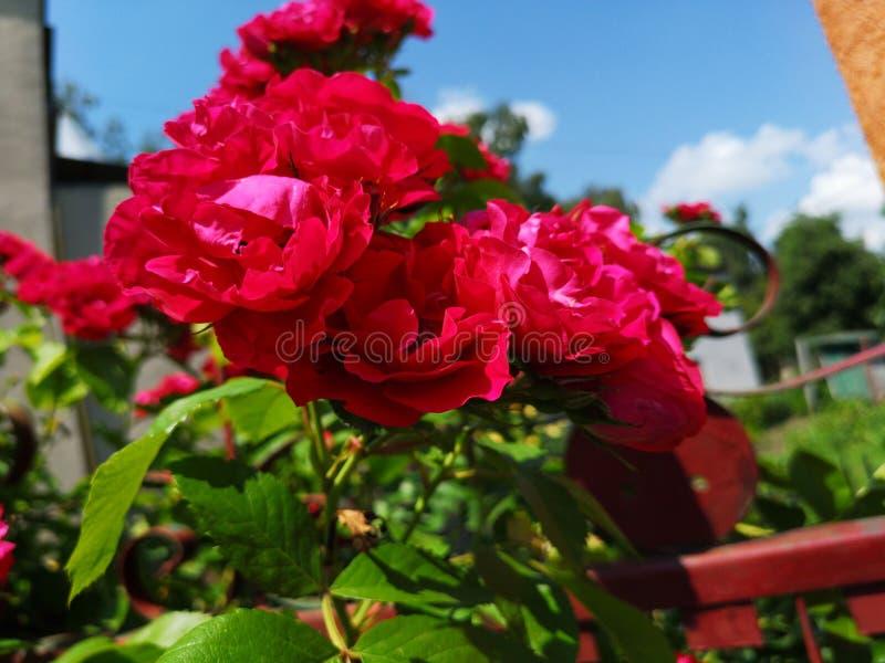 Rosas hermosas en jard?n, rosas para Valentine Day imagen de archivo