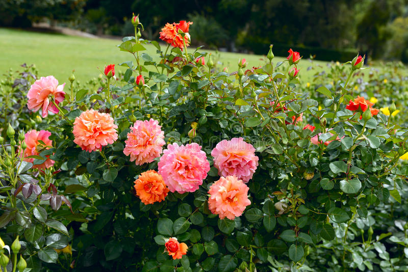 Rosas inglesas alaranjadas de florescência foto de stock