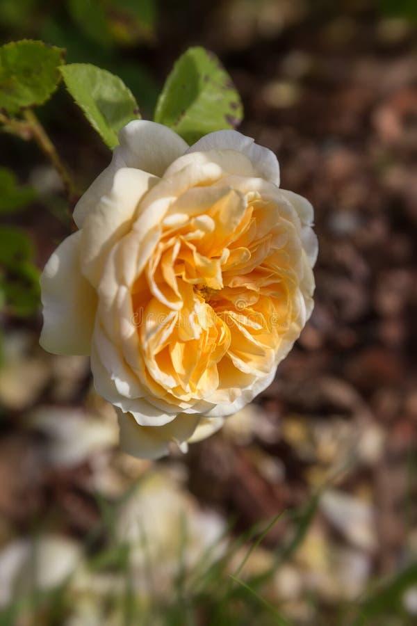 Rosas inglesas amarillo-naranja florecientes en el jardín en un día soleado Rose Teasing Georgia fotografía de archivo