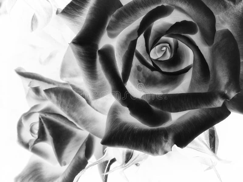 Rosas invertidas imagens de stock