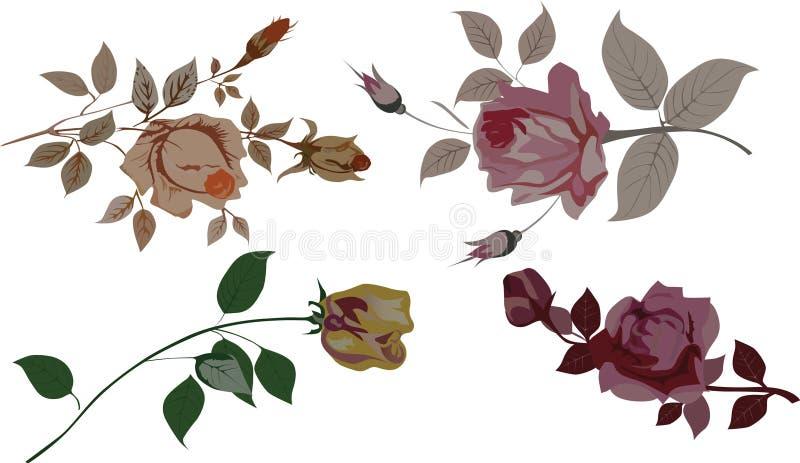 Rosas isoladas no branco ilustração stock