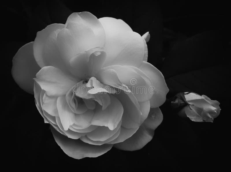 Rosas macias monocromáticas fotos de stock