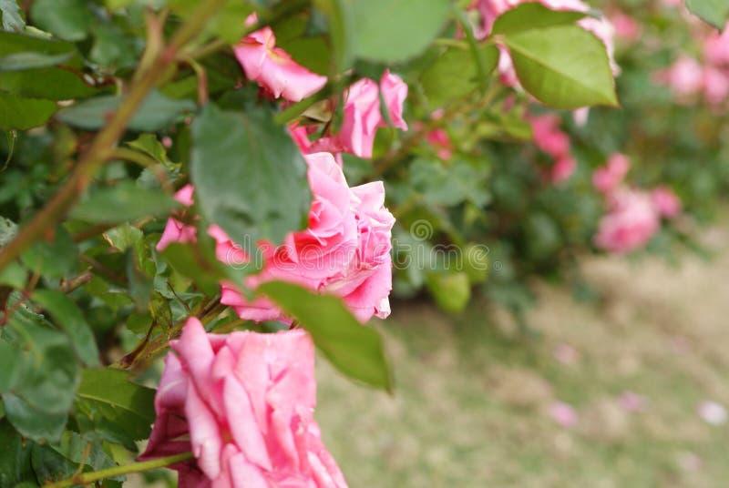 Rosas madrid spain da competição foto de stock royalty free