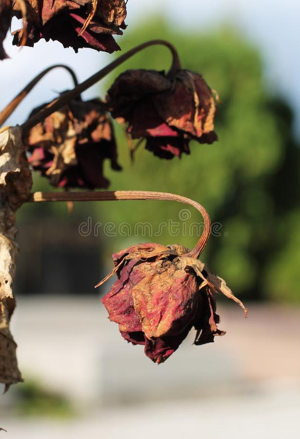 Rosas marchitas foto de archivo