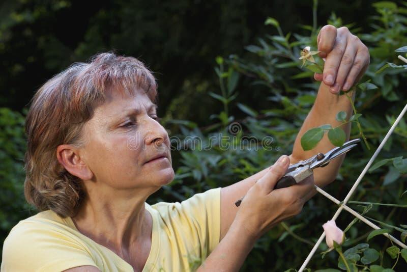 Rosas mayores de la poda de la mujer fotos de archivo