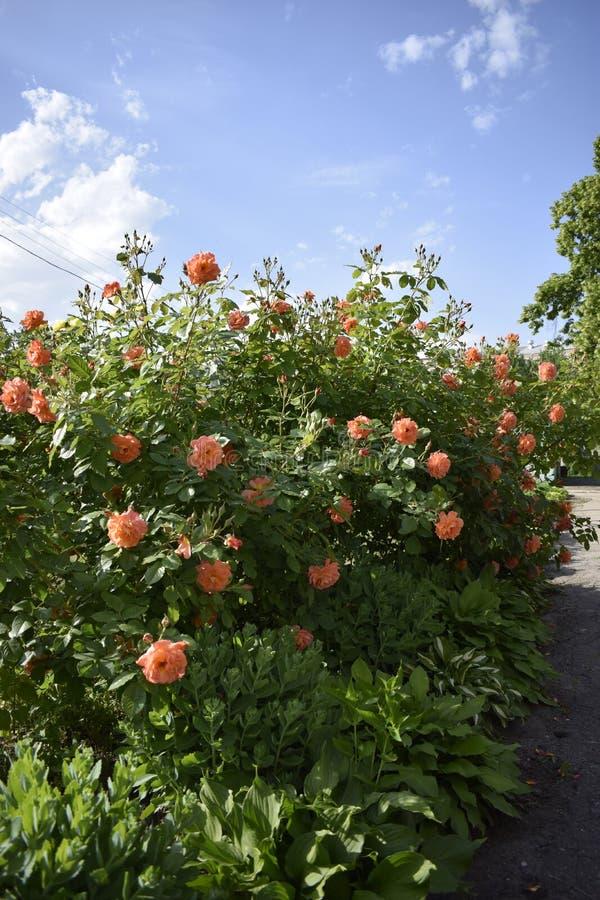 Rosas melocotón-coloreadas hermosas del arbusto con el cielo azul suave en el fondo fotografía de archivo