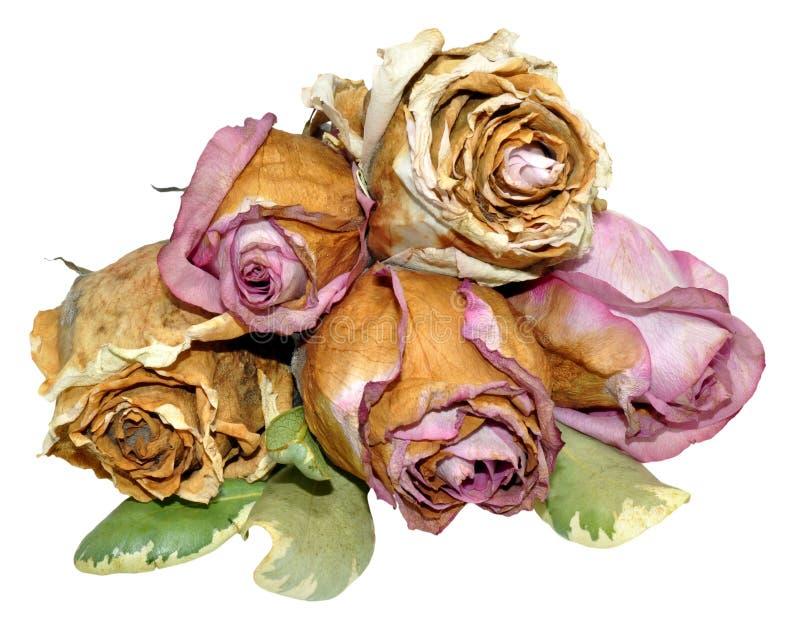 Rosas muertas aisladas en blanco imágenes de archivo libres de regalías