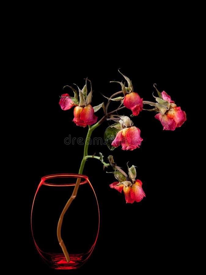 Rosas muertas en el florero aislado en negro fotos de archivo libres de regalías
