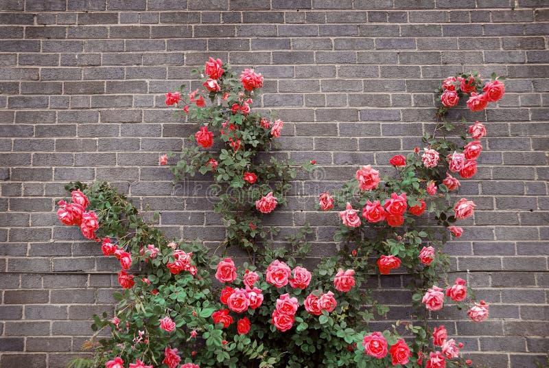 Rosas na parede de tijolo foto de stock royalty free