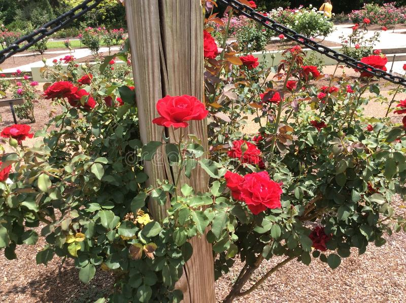 Rosas no imagem de stock