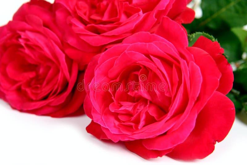 Rosas no branco. foto de stock royalty free