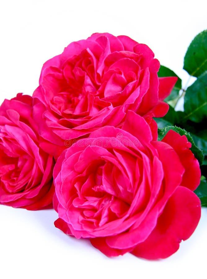 Rosas no branco. fotografia de stock