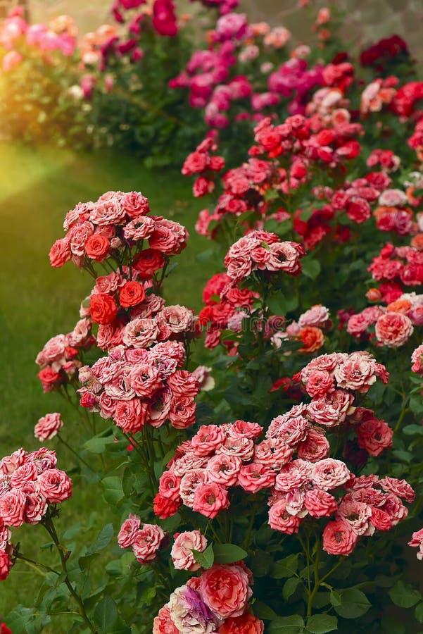 Rosas no jardim imagem de stock