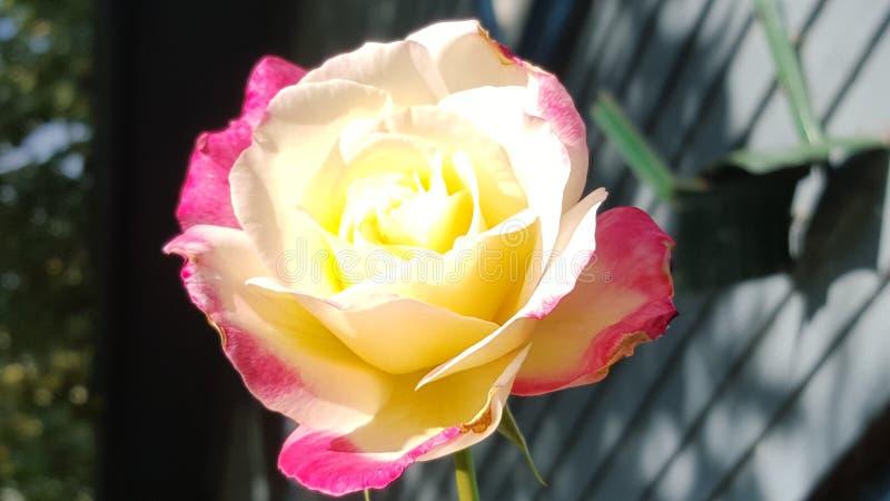 Download Rosas no verão foto de stock. Imagem de rosa, cor, amarelo - 65578688