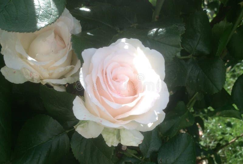 Rosas no verão - Paris, França imagem de stock royalty free
