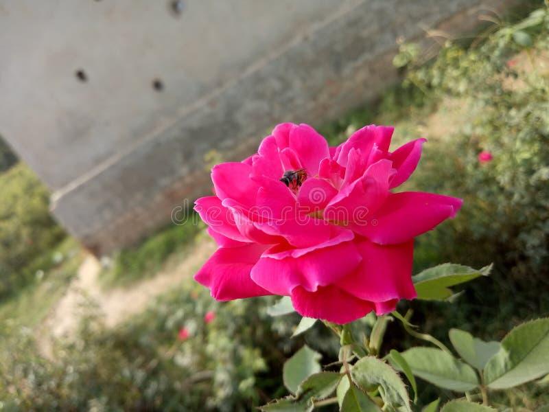 Rosas para abelhas fotografia de stock