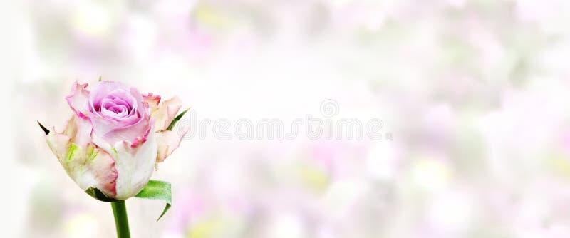 Rosas para felicitações foto de stock royalty free