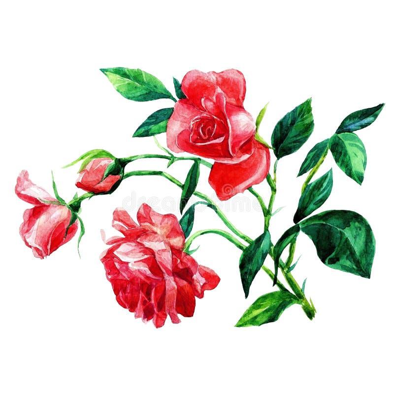 Rosas pintadas na aquarela fotografia de stock