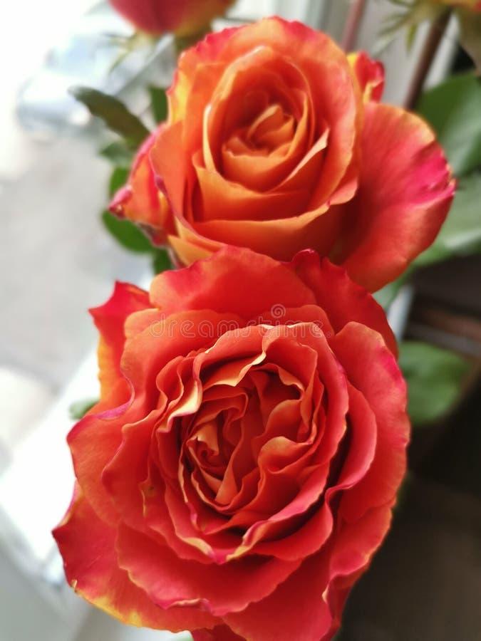 Rosas que sorprenden del amor fotos de archivo libres de regalías