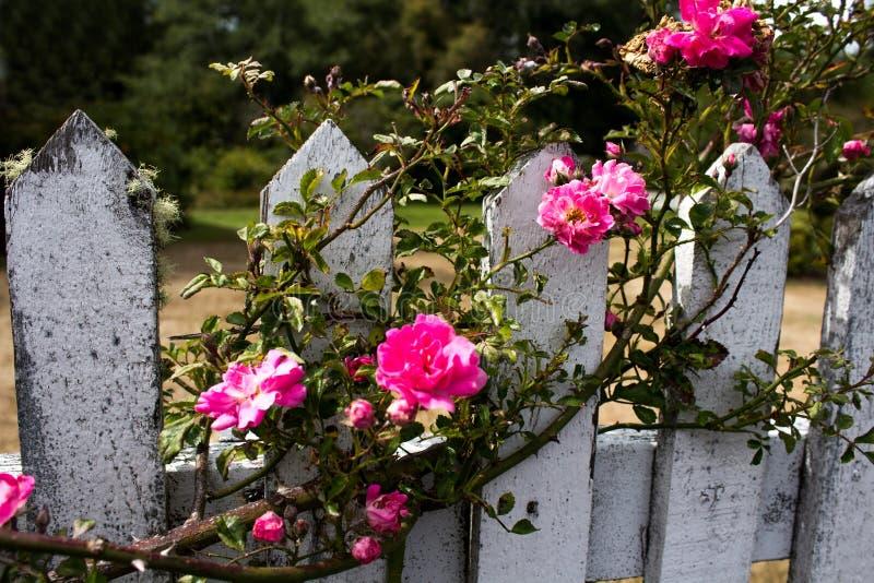 Rosas que suben rosadas en una valla de estacas resistida imágenes de archivo libres de regalías