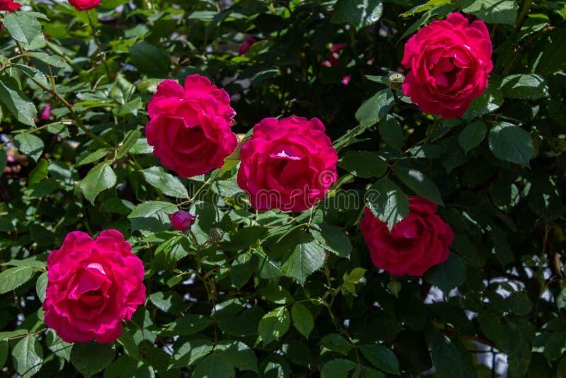 Rosas rizadas rojas Primer Aislado en fondo natural imagen de archivo