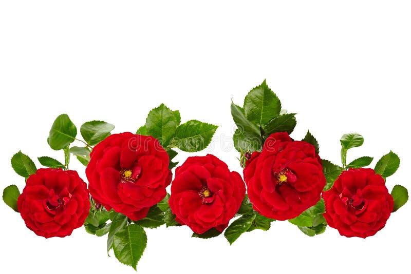 Rosas rojas aisladas en el fondo blanco imagenes de archivo