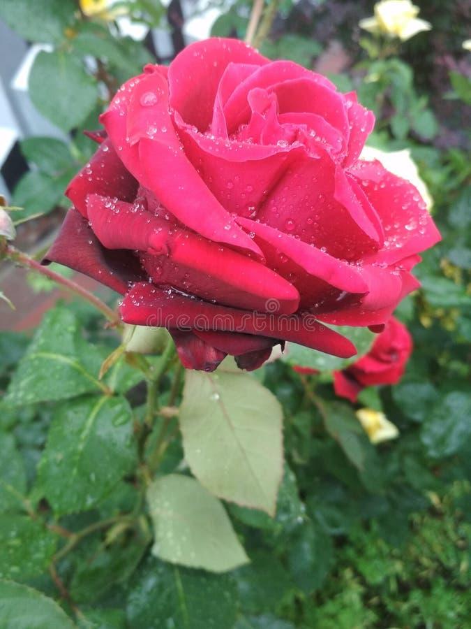 Rosas rojas blandas hermosas después de la lluvia foto de archivo